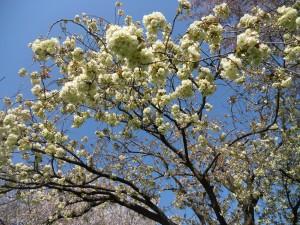 珍しい緑色の桜