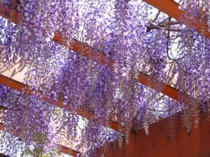 藤の花の下でお茶のみ しましょうか♪